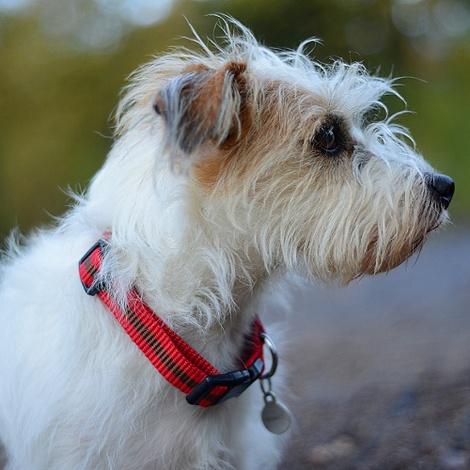 Red Dog Collar 3
