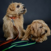 Reg&Bob - Orange Dog Lead