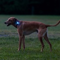 Rigel Multi-Purpose LED Light for Dog Collar - Blue  4