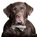 Brown Check Dog Bow Tie