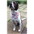England St George Dog & Cat Bandana 2