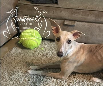 Just Whippet Rescue