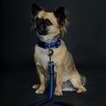 Blue Dog Lead 3