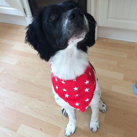 Red Star Dog Bandana  5