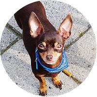 Chihuahua Insurance
