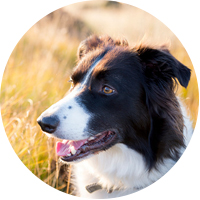 Border Collie Insurance