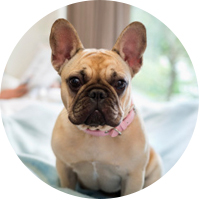 French Bulldog Insurance