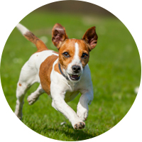 Jack Russell Insurance