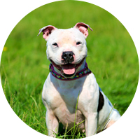 Staffordshire Bull Terrier Insurance