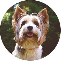 Yorkshire Terrier Insurance