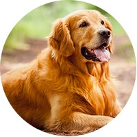 Golden Retriever Insurance