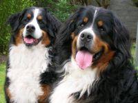 Large Dog Insurance